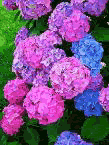 ukrainian-ecology-hydrangea