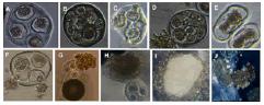 Plant-Biochemistry-Physiology-embryogenesis