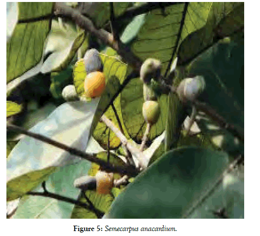 forest-research-open-access-anacardium