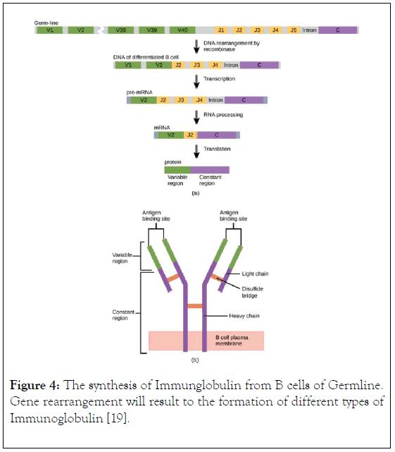 immunome-research-rearrangement